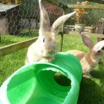 Continental Yellow Giant Rabbits