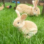 baby giant continental rabbits