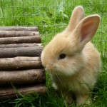 Baby Continental Yellow Giant Rabbits