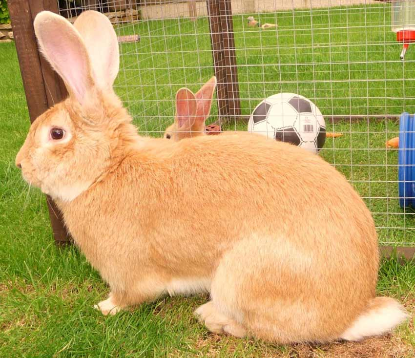 continental giant rabbit